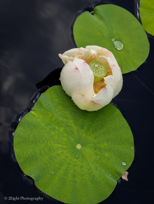 A Lilly in the Water