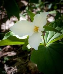White Trillium, Ohiopyle State Park