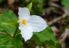 A white Trillium I recently photographed in Cedar Creek Park.